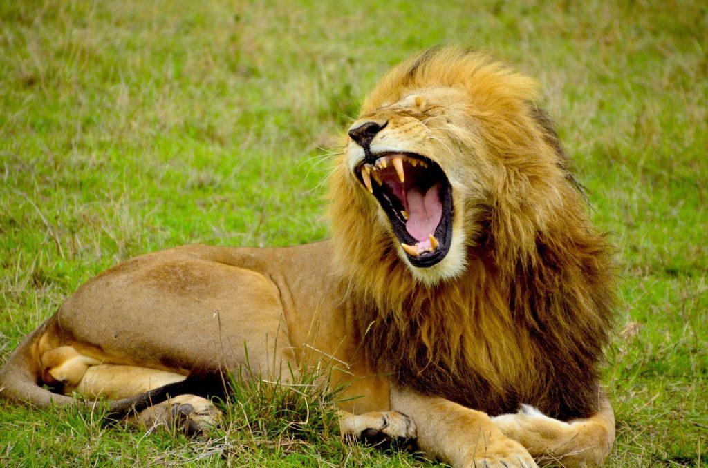 lion-1977123_1280
